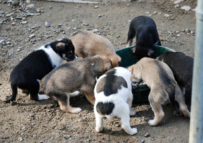 Puppies eagerly chowing down their food