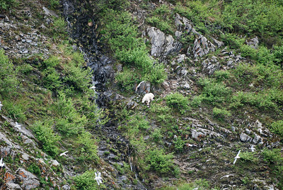 Dall sheep coming down the side of the mountain in Prince William Sound