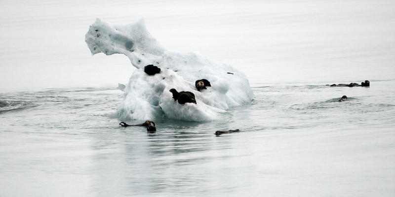 Sea otters on ice flow