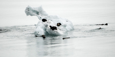 Sea otters on ice flow