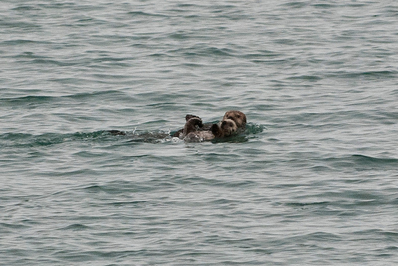 Mother and baby sea otters