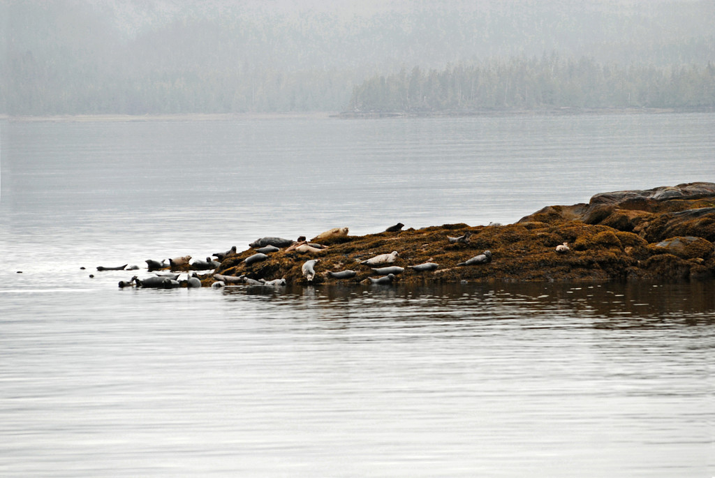 Sea lions on the rocks in Misty Fjords