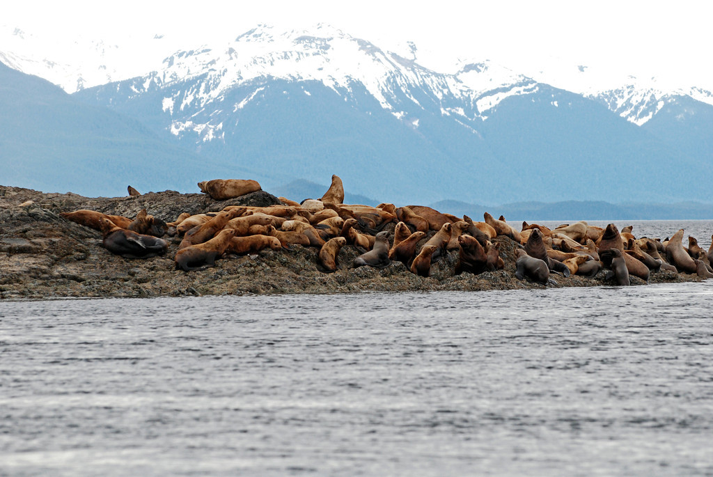 Sea lions on the way to Chichagof Island