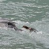 """Mama Merganzer launches in the water, with baby """"wait for me!"""" at her heels"""