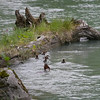 Mama Merganzer catches a fish