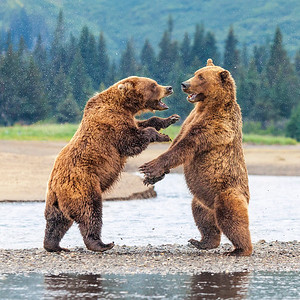 Sparring Bears 1