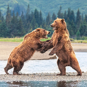 Sparring Bears 2