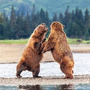 Sparring Bears 3