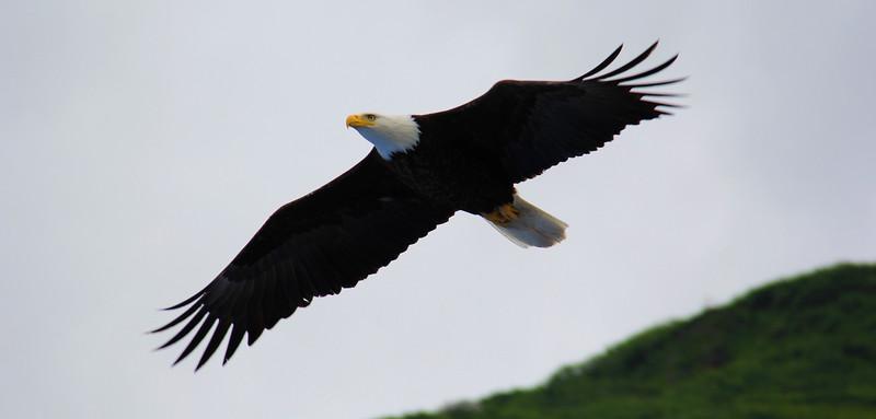 Majestic Eagle - Juneau, Alaska