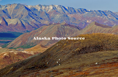 Alaska. Dall Sheep (Ovis dalli) feeding along the mountainside tundra vegetation, among a mosiac of autumn colors, Denali National Park.