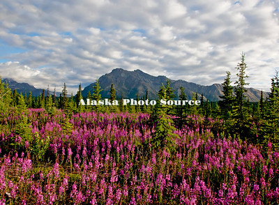 Alaska. Scenic view of Fireweed (Epilobium angustifolium) wildflowers at the Matanuska Glacier Park, along the Glenn Highway.
