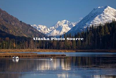 Alaska. Trumpeter swans (Cygnus buccinator) on Tern Lake in the fall, Kenai Peninsula.