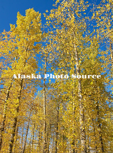 Alaska. Fall color with yellow birch leaves, Chugach National Forest.