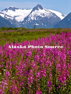 Alaska. Scenic view of wildflowers (cow parsnip, fireweed) from Ingram Creek, with the mountains of portage glacier in the background, Chugach National Forest.