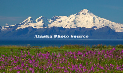 Alaska, Fireweed Wildflowers (Epilobim angustifolium) form the foreground for Kachemak Bay and Mt. Iliamna.