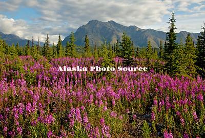 Alaska. Scenic view of Fireweed (Epilobium angustifolium) wildflowers at the Matanuska Glacier Park, along the Glenn Highway.