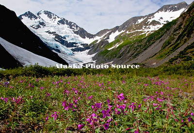 Dwarf Fireweed/River Beauty (Epilobium latifoium) wildflowers in Chugach National Forest, Portage with Byron Glacier in the background.