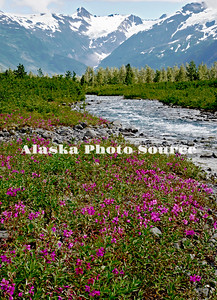 Dwarf Fireweed/River Beauty (Epilobium latifoium) wildflowers along Byron Creek in Chugach National Forest, Portage.