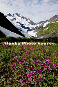 Dwarf Fireweed/River Beauty (Epilobium latifoium) wildflowers in Chugach National Forest, Portage, with Byron Glacier in the background.