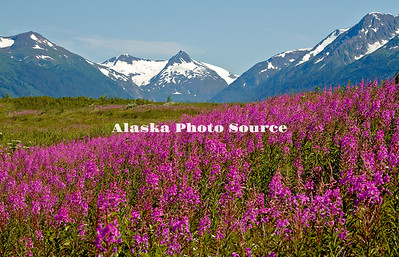 Alaska. Scenic view of wildflowers (cow parsnip, fireweed) from Ingram Creek, with the mountains of Portage Glacier in the mid-background, Chugach National Forest.