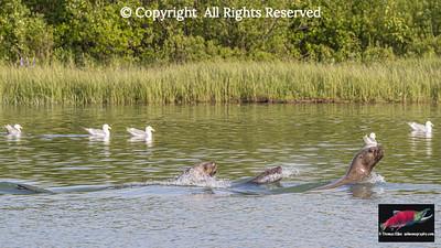 Steller sea lions making waves returning to sea