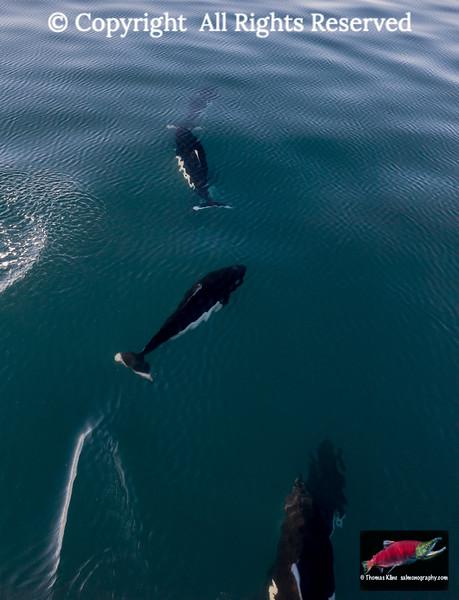 Dall's Porpoises surfacing in Prince William Sound, Alaska