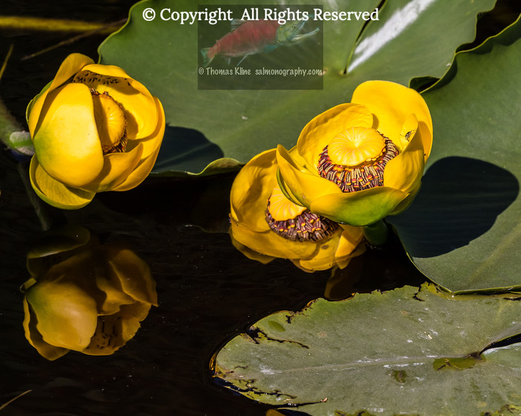Yellow Pond Lilies
