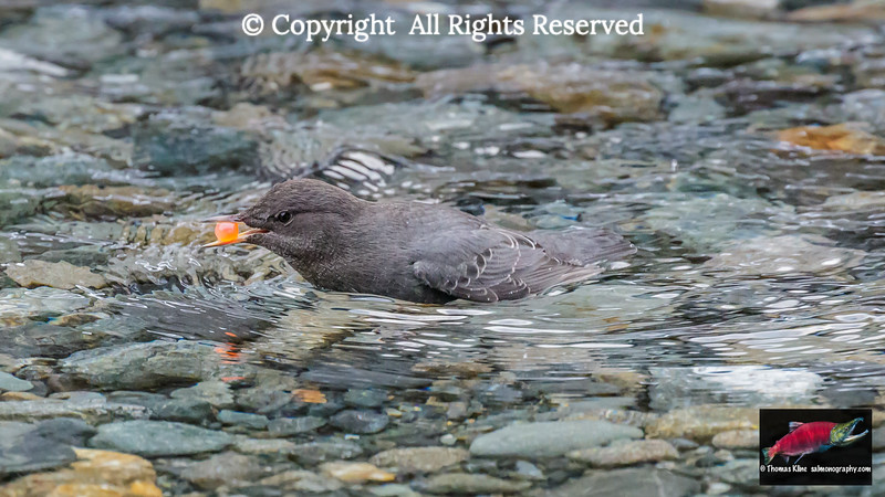 American Dipper with Coho Salmon egg