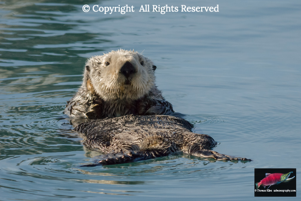 Sea Otter in Prince William Sound near Cordova, Alaska