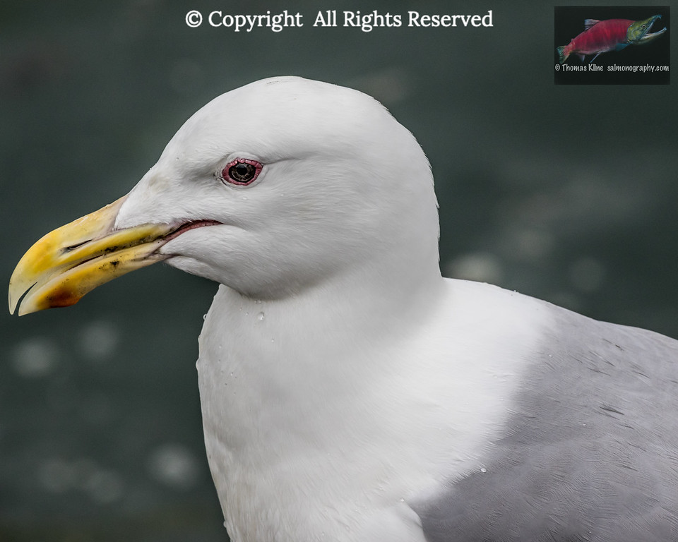 Glaucous-winged Gull portrait