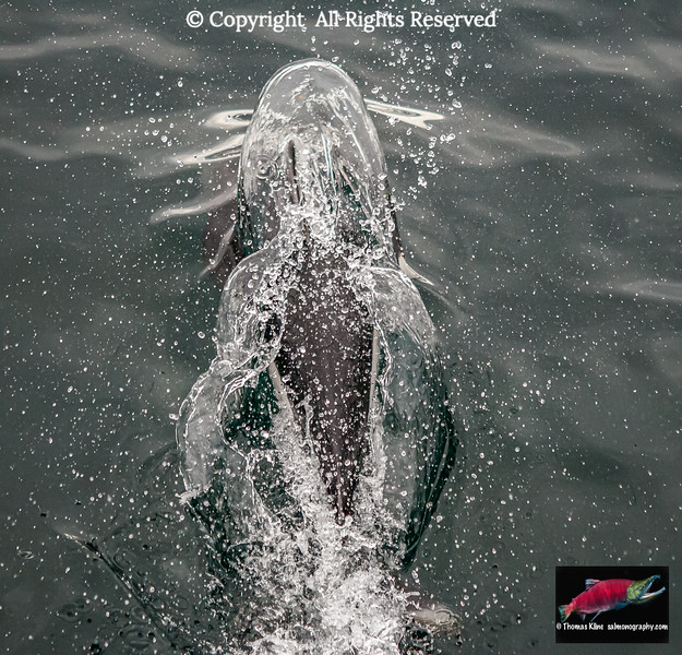 Dall's Porpoise surfacing in Prince William Sound, Alaska