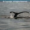 Humpback Whale in Prince William Sound, Alaska