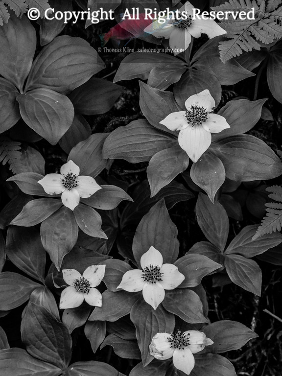 Creeping Dogwood
