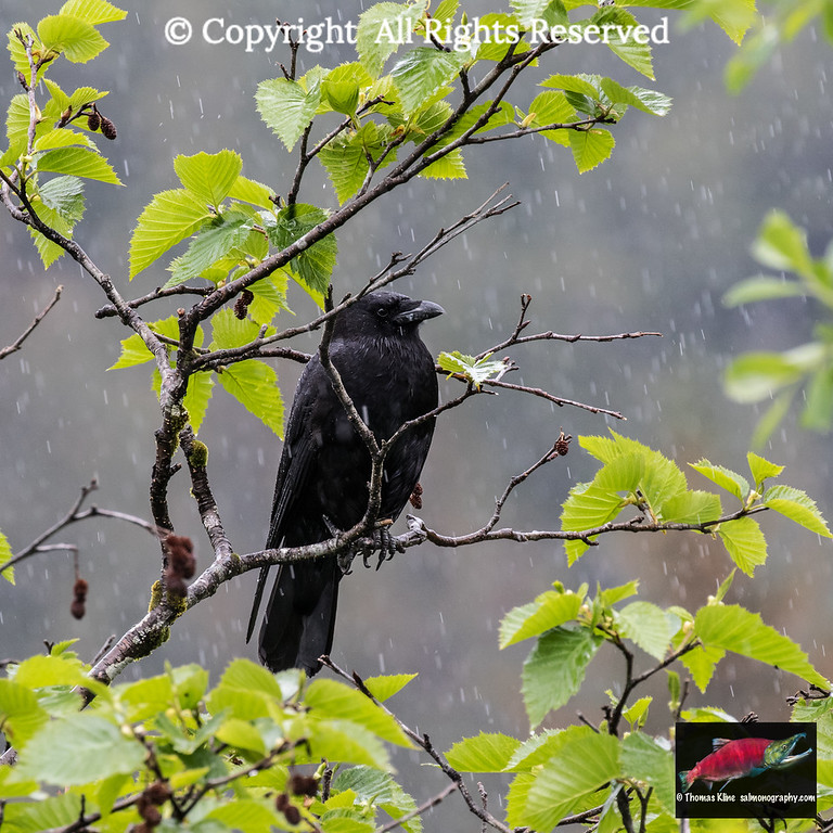 Northwestern Crow perced on Red Alder in rainy weather.