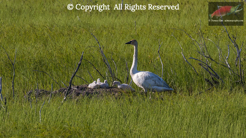 Trumpeter Swan with four cygnets