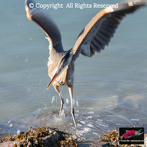 Great blue heron action