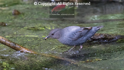 American Dipper with captured cadisfly larva prey