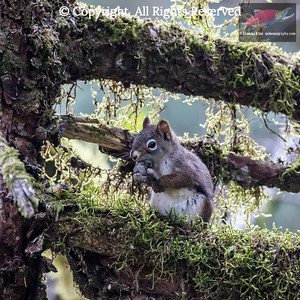 Red squirrel with food on branch of moss-covered tree in rain forrest.