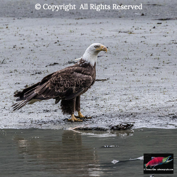 Lunch in sight: Bald Eagle next to salmon carcass