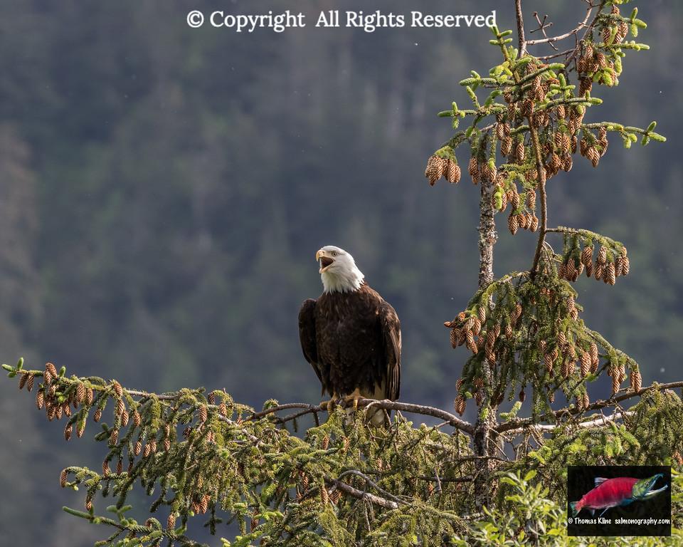 Bald Eagle sounding off