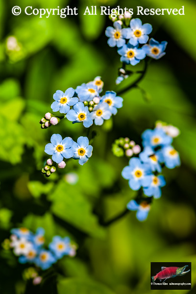 Forget-me-not inflorescence