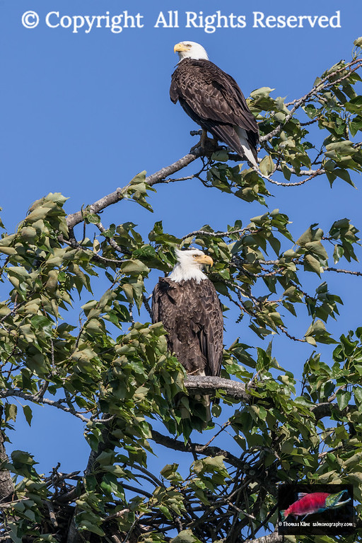 Bald Eagle mated pair