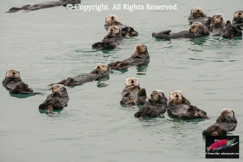 Sea Otters in Prince William Sound near Cordova, Alaska
