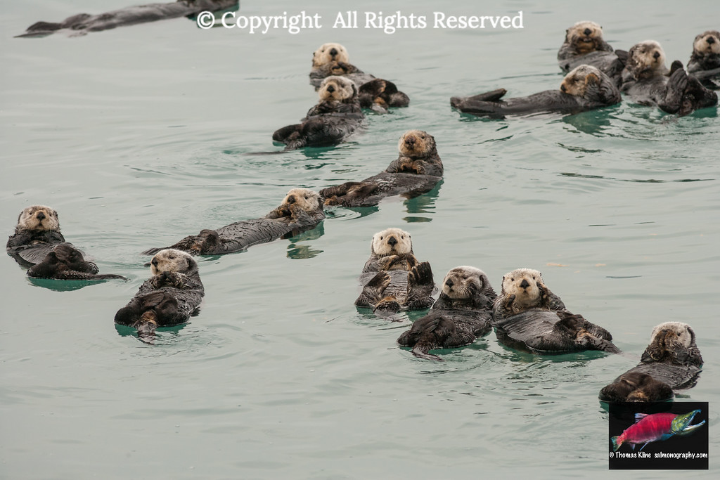 Sea Otters in Prince William Sound near Cordova, Alaska