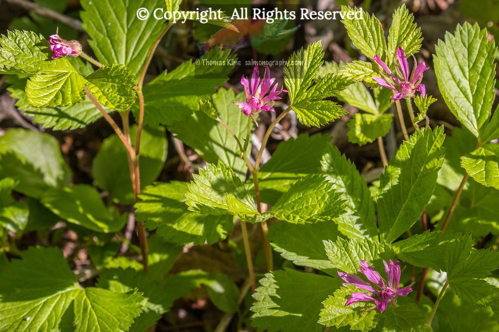 Nagoonberry flowers