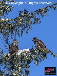 Eagles and crows