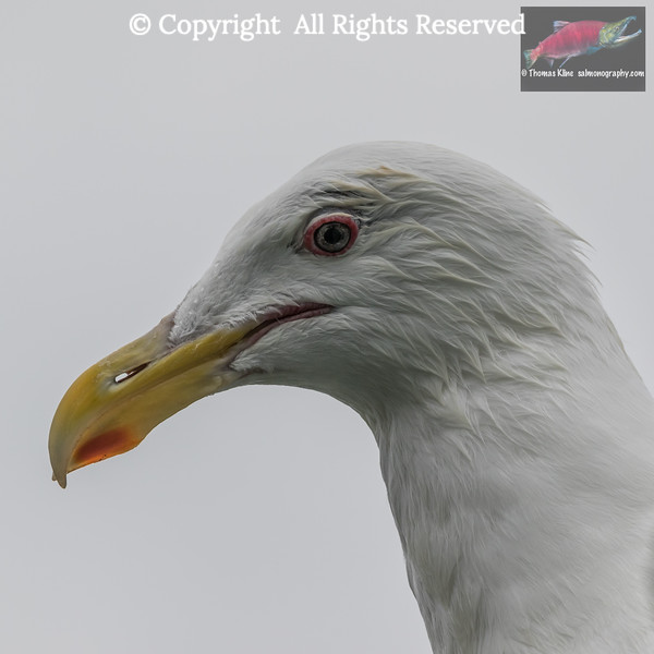 Glaucous-winged Gull headshot.