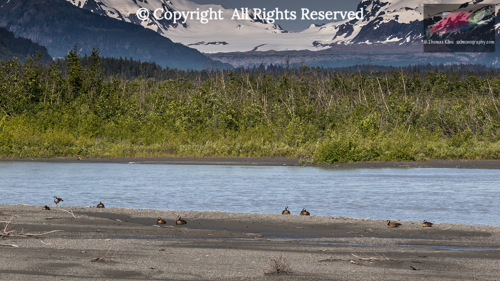Dusky Canada Geese resting