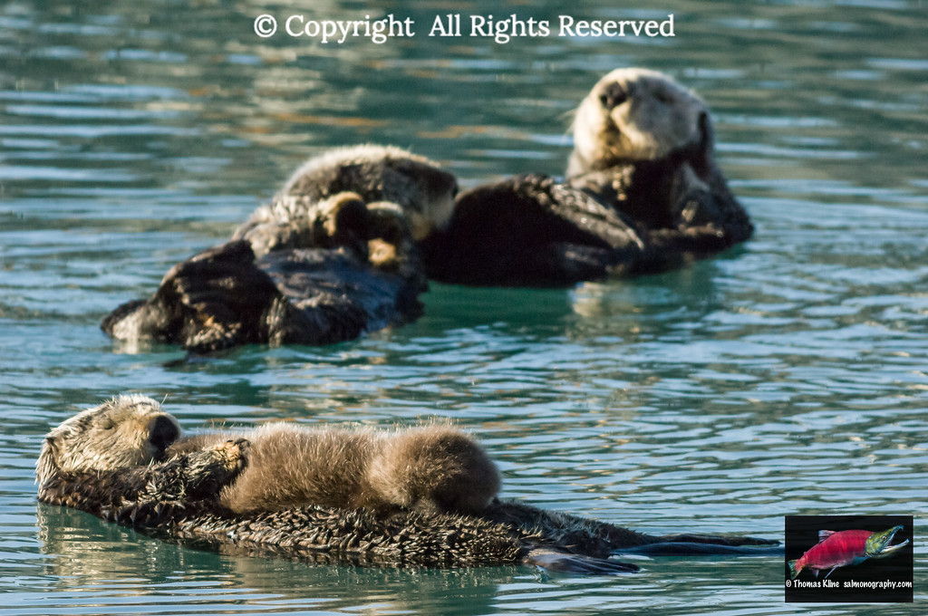 Sea Otter female with pup in Prince William Sound near Cordova, Alaska