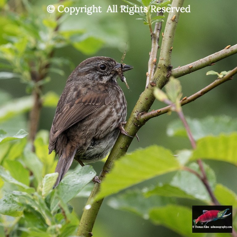 Yakutat Song Sparrow with dragonfly in bill
